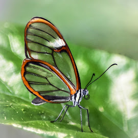 Glasswing Butterfly by Dawn Hoehn Hagler - Animals Insects & Spiders ( butterfly, glasswing butterfly, glasswing, tucson botanical gardens, insect, greta oto, clearwing, garden,  )