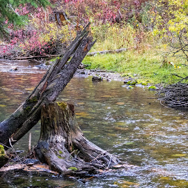 Dying Stump by Chad Roberts - Nature Up Close Trees & Bushes ( idaho, water, stump, wyoming, creek, darby creek, dying tree, river )