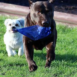 by Allan Stephen - Animals - Dogs Running