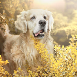 Golden by Kasia Doroszkiewicz - Animals - Dogs Portraits ( #dog #golden #retriever #animal #love )