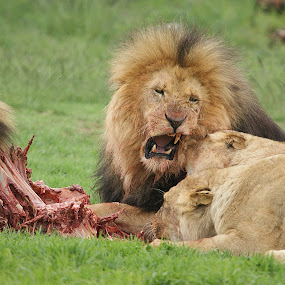 I said no.... by Charmane Baleiza - Animals Lions, Tigers & Big Cats ( charmane baleiza, lion, big cats, lioness, wildlife )