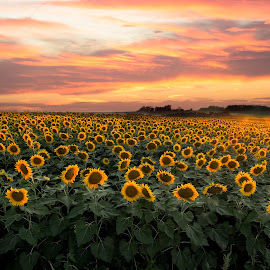 Sunflowers by Mike Karels - Landscapes Prairies, Meadows & Fields ( estherville, iowa, sky, sky senior, colorful, sunflowers, sunset, sunflower, harvest, flowers, crop )