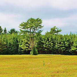 STANDS ALONE by Gary Colwell - Landscapes Forests ( blueberry fields, tree )