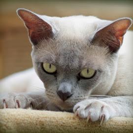 mathilda by Caroline Beaumont - Animals - Cats Portraits ( grey cat, pedigree cat, lilac burmese cat, yellow eyes, burmese cat )
