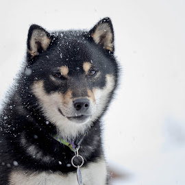 Maple Poses by Chad Roberts - Animals - Dogs Puppies ( shiba inu, winter, cold, wood, snow, dog, woodpile, maple )