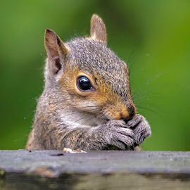 Baby squirrel by Carol Plummer - Animals Other Mammals