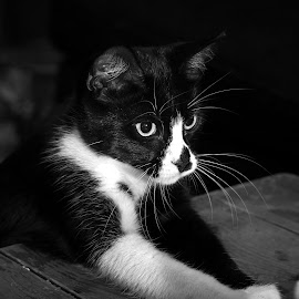 All In by Rob Heber - Animals - Cats Playing ( cat, kitten, leaing, black and white, furry, table, cute, domestic, pet, paw, whiskers, cuddly, fur, adorable, paws, feline, animal )