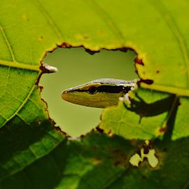 Peering by Sigit Purnomo - Animals Reptiles