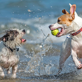 by Harold Blum - Animals - Dogs Playing