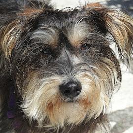 Petal by Chrissie Barrow - Animals - Dogs Portraits ( female, pet, white, rescue, mongrel, ears, fur, grey, rough, dog, nose, tan, portrait, eyes )