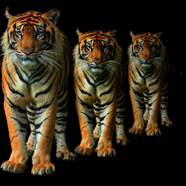 3 of Us by Yohanes Arief Dewanto - Digital Art Animals ( wild, wilderness, tre, tiger, digital art, animal )