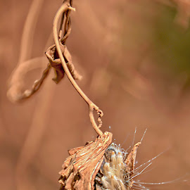 Seed by Danette de Klerk - Nature Up Close Other plants ( seed pod, seeds, plants, plant, flora )