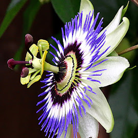 Passionflower with Friend by Chrissie Barrow - Flowers Single Flower ( stigma, single, stamens, purple, petals, green, white, insect, hoverfly, red, passionflower, brown, garden, flower )