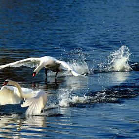 Flight by Terence Lim - Animals Birds ( bird, flight, takeoff, splash, freedom, nature, elegance, wildlife, swan, beauty )