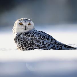 White on white by Bencik Juraj - Animals Birds ( bird, winter, owl, birding )