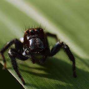 Black Jumping Spider by Yogesh Kumar - Abstract Macro ( reverse, macro, jumping, spider, black )