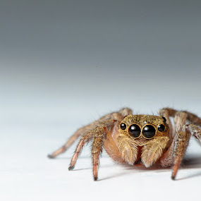 Jumping Spider by Idan Presser - Animals Insects & Spiders ( jumping, shadow, jumping spider, brown, spider, grey, eyes )