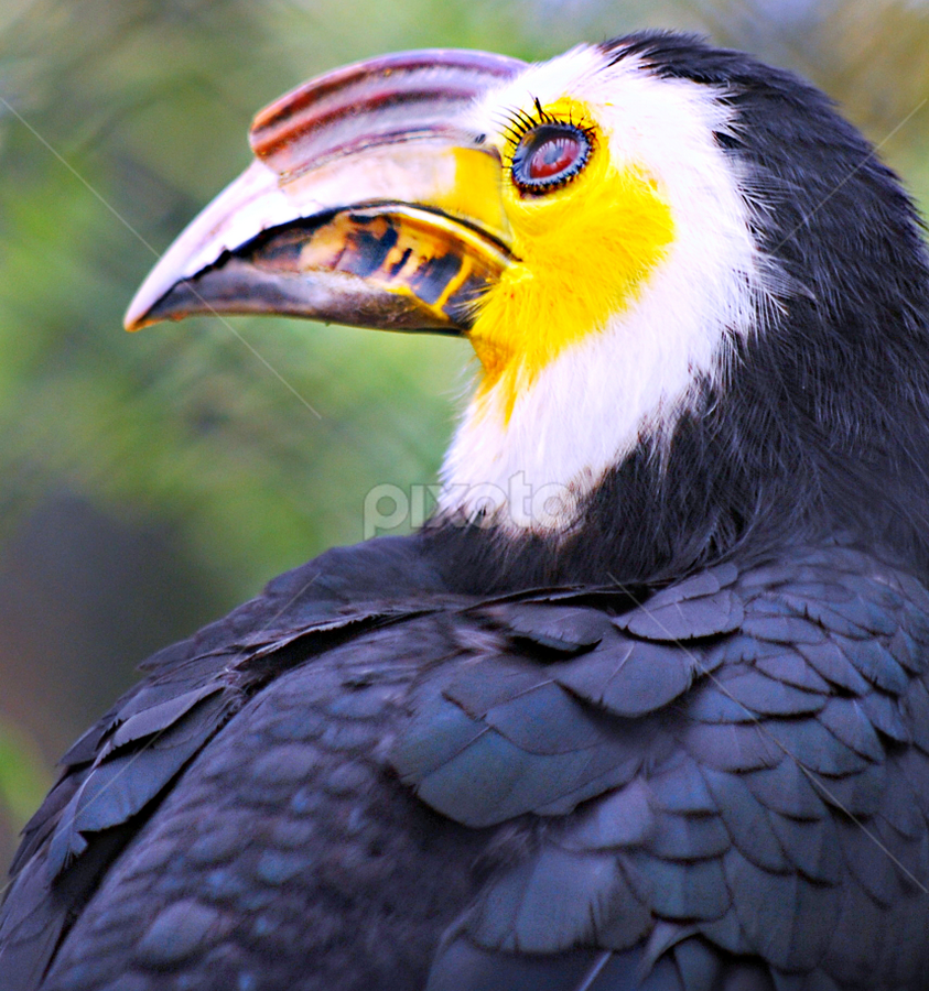 Sulawesi Tarictic Hornbill by Colleen Rohrbaugh - Animals Birds ( animals, nature, wildlife, birds, excotic birds,  )