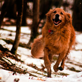 Cold N Retriever 2 by Dave Skorupski - Animals - Dogs Running ( retriever, furry, joy, woods, running, goldenretriever, canine, nature, pet, happy, path, trees, fur, dog, smile, golden, smil;ing )