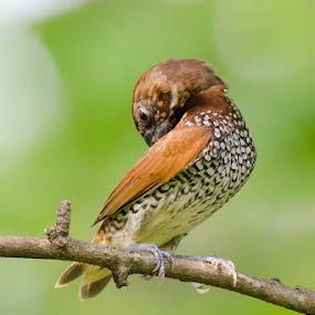 || Scaly-breasted Munia || by Indra Maji - Animals Birds