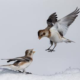 The fight by Alberto Carati - Animals Birds