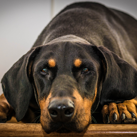 Waiting by Petra Bensted - Animals - Dogs Portraits ( face, attitude, pet, paws, dog, doberman, tan, black, eyes )