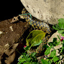 checkered keelback or Asiatic water snake