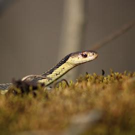 Peeking at you by Sue Connor - Animals Reptiles ( young snake, snake, garter, garter snake )