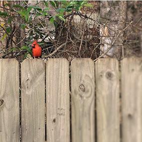 Red Bird an a Fence by Kirk Barnes - Animals Birds ( bird,  )
