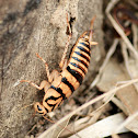 Golden Triangle Woodland Cockroach