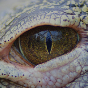 croc eye by JenWil   - Animals Reptiles