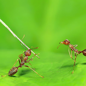 Kungfu Master.... by Syamsu Hidayat - Animals Insects & Spiders ( insect, animal )
