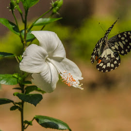 Don't go away please... by Tamal Das - Nature Up Close Other Natural Objects ( butterfly, hibiscus, nature, flower )