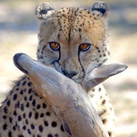 Cheetah with Nyala Kill by Sean de la Harpe-Parker - Animals Lions, Tigers & Big Cats ( big cat, predator, cheetah, big cats, south africa, wildlife, kruger )