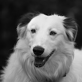 Fluffy by Chrissie Barrow - Black & White Animals ( monochrome, black and white, pet, fur, dog, mono, lurcher, portrait, animal )