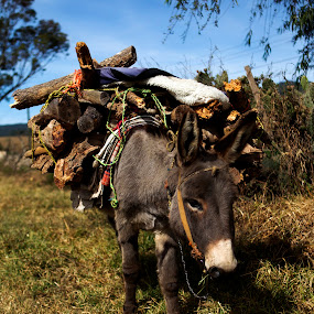 Hard worker by Cristobal Garciaferro Rubio - Animals Other ( wood, grass, mexico, donkey, worker )