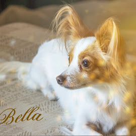 Bella by Debbie Jones - Typography Captioned Photos ( pet portrait, pet, papillon, chihuahua, dog,  )
