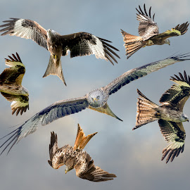 Red Kite Montage by Stephen Crawford - Digital Art Animals ( montage, images, laurieston, compilation, feeding station, composite, red kites,  )