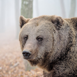 Big brown bear  by Tony Hampel - Animals Other