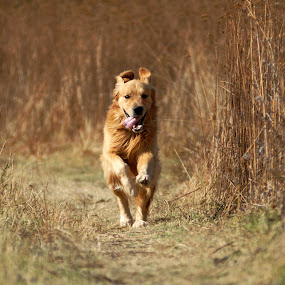 I am coming by Cristobal Garciaferro Rubio - Animals - Dogs Portraits ( runner, dog, golden retriever, animal, motion, animals in motion, pwc76, pwc84 )