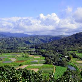 Taro Fields, Hanalei by Timothy Carney - Landscapes Prairies, Meadows & Fields ( kauai, hanalei, taro fields, hawaii )