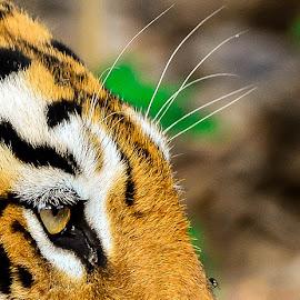 The Fly shot. by Riddhi Pratim Ghatak - Animals Lions, Tigers & Big Cats ( #bigcat, #maayatigress, #tadobatigerreserve, #tigerphotography, #wildlife )