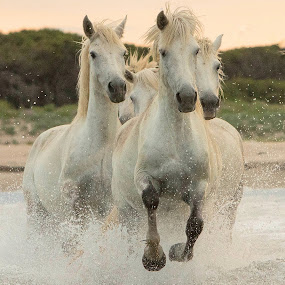 Galloping through the water by Helen Matten - Animals Horses ( water, galloping, mares, wild, horses, camargue, white, france,  )