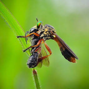 Breakfast by Cibo Heriansyah - Animals Insects & Spiders ( macro, robber fly )