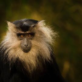 Eye of a lion by Abinav Shankar - Animals Other Mammals ( wildlifeindia, westernghats, macaque, indi, liontailed, india, portrait, monkey, eyes, wanderwoo )