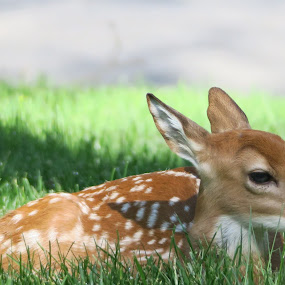 Newborn by Judy Smith - Novices Only Wildlife ( deer, animal, ourdoor, fawn, wildlife )