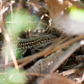 Lizard by Ioana Cristina - Animals Reptiles ( field, wild, lizard, nature, tauricus, wildlife, reptile, photography, podarcis, wall, herping )