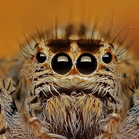 Brown Jumper Spidy by Setiady Wijaya - Animals Insects & Spiders ( spider )