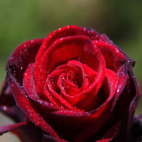 Red rose by Gil Reis - Nature Up Close Flowers - 2011-2013 ( nature, flowers.roses )