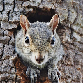 Peek-a-Boo by Donna Van Horn - Animals Other Mammals ( #squirrel #eyes #nature,  )